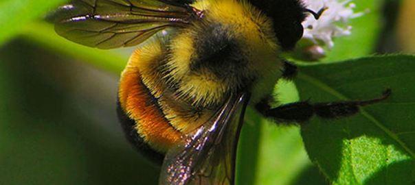 bumblebee pic
